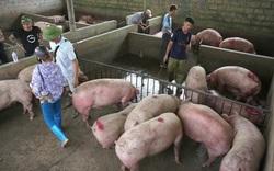 Nghi vấn lợn sống Thái Lan nhập về Việt Nam có chất cấm?