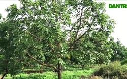 Cận cảnh vườn trái cây giúp chị Sen thu hàng trăm triệu mỗi năm
