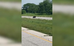 Chuyện chú gấu vượt 650km để tìm bạn đời gây sốt mạng xã hội