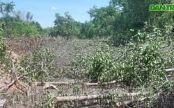 Người dân tự ý cắt hạ cây chống ngập mặn!