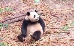 Những khoảnh khắc đáng yêu và hài hước của loài gấu trúc