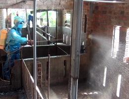 Phú Yên: Phát hiện ổ dịch lở mồm long móng trên đàn lợn