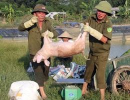 Căng mình giữa nắng nóng ngăn dịch tả lợn châu Phi lây lan