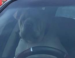 Chó bấm còi inh ỏi vì bị chủ bỏ quên trên xe ô tô