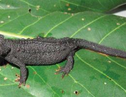 Loài sa giông cá sấu mới siêu dễ thương được phát hiện ở Việt Nam