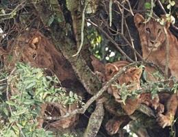 Đàn sư tử ngủ trưa trên cây phủ đầy gai