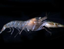 Phát hiện sinh vật có đôi mắt nhanh nhất hành tinh