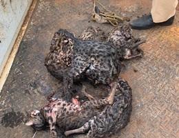 Phát hiện thanh niên săn 8 con thú nghi là mèo rừng quý hiếm