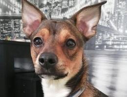 Chó ham ăn nhập viện khẩn cấp vì nuốt chửng... cây gậy dài 25 cm