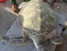 Thả cá thể rùa nằm trong Sách đỏ về với biển