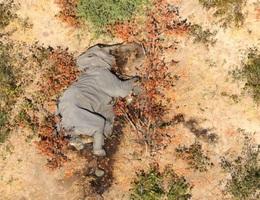 Hơn 360 con voi ở Botswana chết một cách bí ẩn