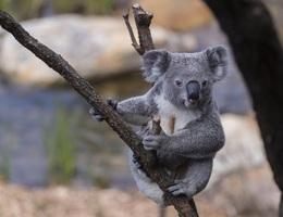 Gấu túi ở New South Wales có thể tuyệt chủng vào năm 2050