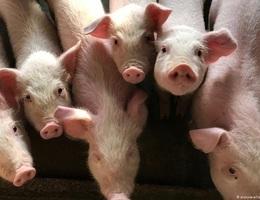 Chủng cúm lợn mới ở Trung Quốc không thể phát triển thành đại dịch?