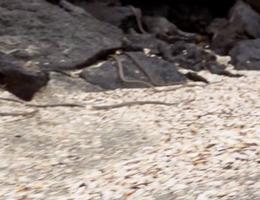"""Video: Kịch tính cả đàn rắn """"truy sát"""" kỳ nhông và diễn biến nghẹt thở đầy bất ngờ"""