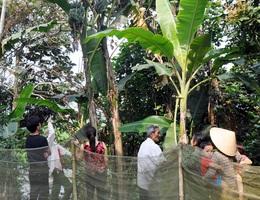 Người dân hiếu kỳ đi xem cây chuối voi trổ cùng lúc 2 buồng