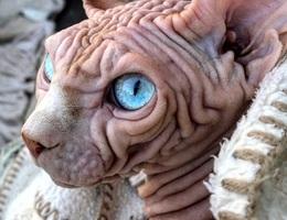 Gặp Xherdan, chú mèo ngọt ngào có vẻ ngoài siêu đáng sợ