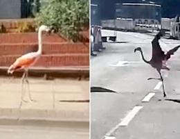 Hồng hạc trốn khỏi sở thú ra đường chơi rồi lại… quay về