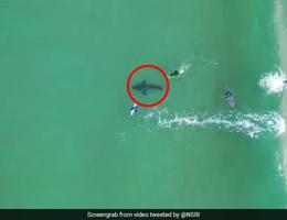 Cá mập trắng khổng lồ theo sát người lướt sóng