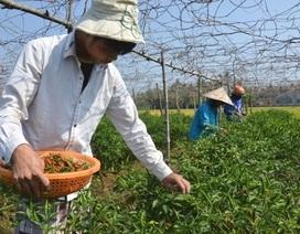 """Giá ớt bất ngờ vọt lên 40.000 đồng/kg, nông dân tranh thủ đội nắng """"hái lộc"""""""