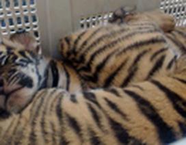4 con hổ đang sống bị chở trên xe Camry