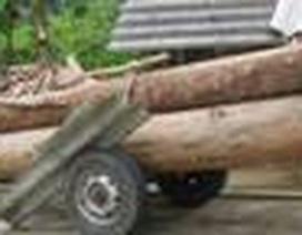 Phát hiện hơn 131m3 gỗ khai thác trái phép cất giấu trong nhà dân