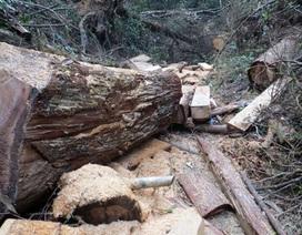 Truy tố 4 đối tượng trong vụ triệt hạ 50ha rừng pơ mu