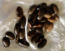 Chuyện hi hữu ở Hà Tĩnh: Vitamin A cho trẻ uống là... hạt đậu giống!