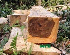 """Vụ lâm tặc """"đại phẫu"""" rừng bảo tồn: Triệu tập 11 đối tượng"""