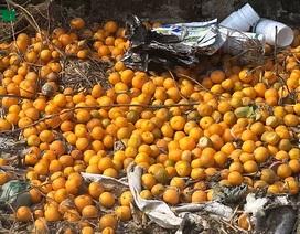 Sát Tết âm lịch, vựa quất cảnh lớn nhất Hà Nội bất ngờ chết hàng loạt