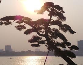 Vườn tùng trăm tuổi giá hàng chục tỷ giữa Hà Nội