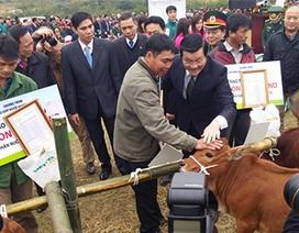 Chủ tịch nước trao tặng 50 bò giống giúp đồng bào nghèo biên giới Cao Bằng