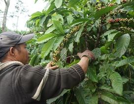 Nông dân trồng cà phê khốn đốn vì mưa kéo dài