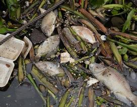 Cá chết hàng loạt trên kênh Nhiêu Lộc - Thị Nghè sau đợt mưa lớn