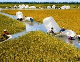 Gạo Việt sau Thái Lan 100 năm: Đừng hỏi vì sao...