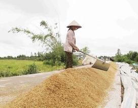 Việt Nam trúng thầu gần 1,5 triệu tấn gạo: Nông dân tiếc vì... hết lúa!