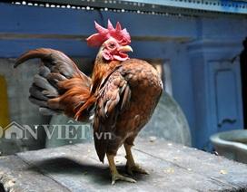 """Lạ mắt gà tre """"ngực khủng"""" nhỏ nhất thế giới tại Việt Nam"""