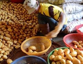 Đà Lạt: Lập tổ liên ngành chống khoai tây Trung Quốc