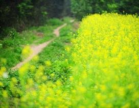 Sắc hoa cải nở vàng trong gió rét