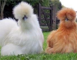 Nhà giàu Việt chơi lạ: Con gà quý tộc giá ngàn USD