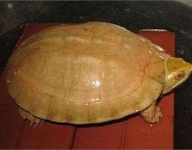 Báu vật rùa vàng 400 triệu đổi đời nông dân miền rừng