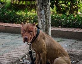 Khách Tây phẫn nộ chứng kiến cảnh chọi chó đẫm máu ở HN