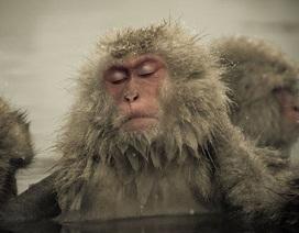 Chùm ảnh: Đẹp lạ khoảnh khắc khỉ tuyết tắm hồ nước nóng tránh rét