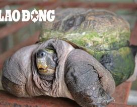 Con rùa kỳ lạ đem lại may mắn cho chủ nhân ở Tiền Giang