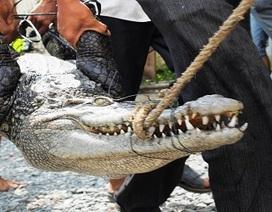 """Cá sấu """"khủng"""" sổng chuồng, dân cả vùng chết khiếp"""