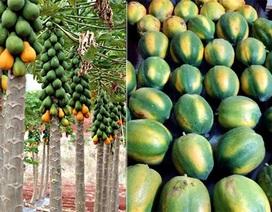 Nhận biết trái cây chín thường và chín ép
