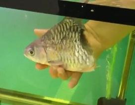 Cá sống thêm đến nửa năm dù chỉ có mỗi đầu