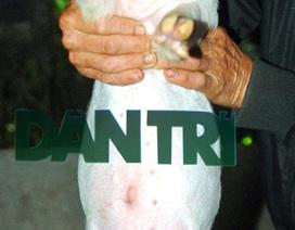 Kỳ lạ chú lợn có 2 bộ phận sinh dục