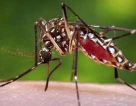 Phát hiện vi rút gây dị tật thai nhi trong muỗi sốt xuất huyết