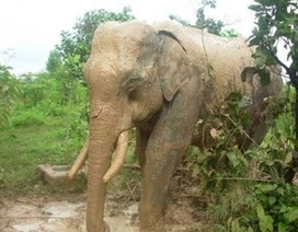 Voi rừng liên tục kéo về tấn công voi nhà