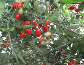 Hà Nội: Quanh năm ăn rau quả sạch trồng trong... thùng xốp
